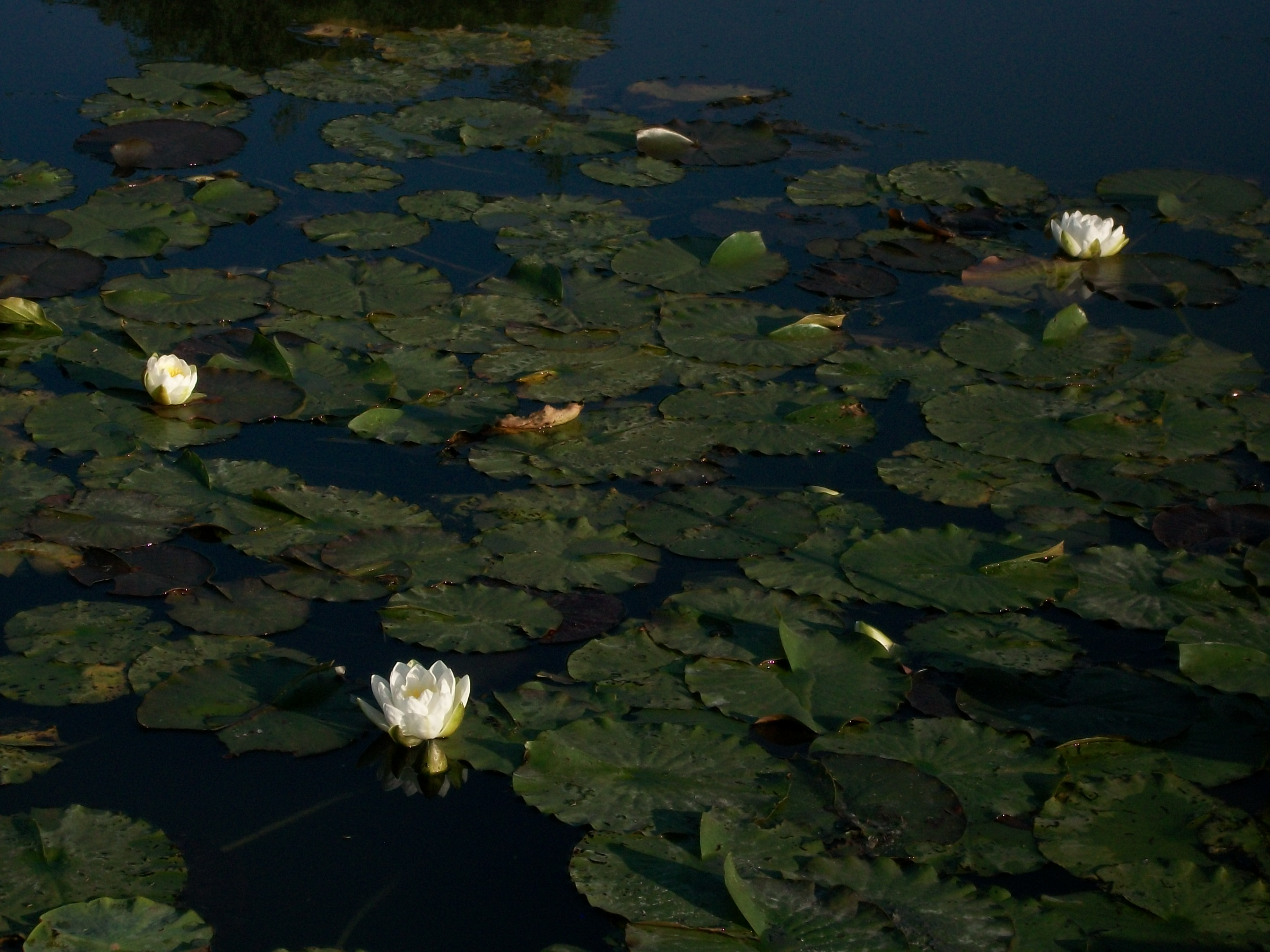 The Lotus Blossoms in Germany, Also